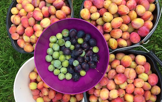 A glut of plums